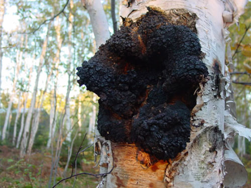 Harvesting and collection of Chaga mushroom